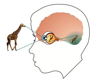visual_sys_giraffe