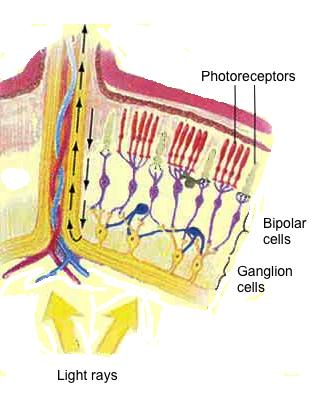 photoreceptors_McG