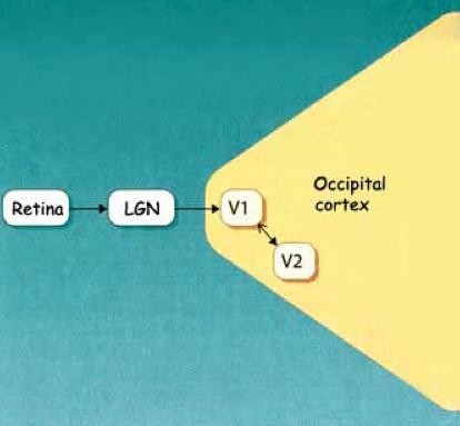 retina-LGN-cortex